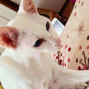 玉ねぎ 大量 美味しい オリエンタルショートヘア シャム猫