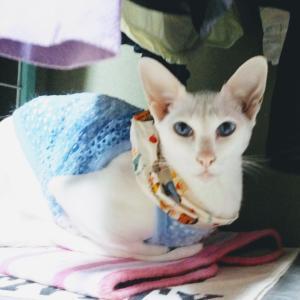 肥満細胞腫 腫瘍 手術 抜糸 贅沢 弁当 オリエンタルショートヘア シャム猫