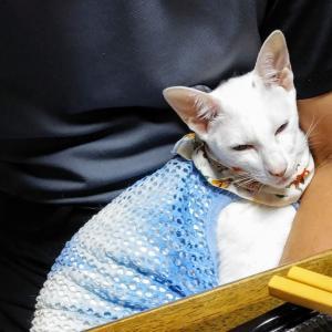 龍の卵プリン 美味しい 濃い 男の子 キリッ オリエンタルショートヘア シャム猫