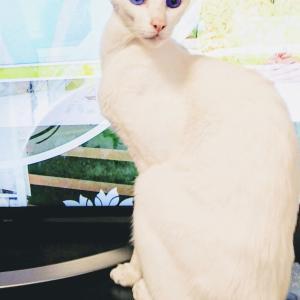 バッジ 猫 白 激似 オリエンタルショートヘア スフィンクス