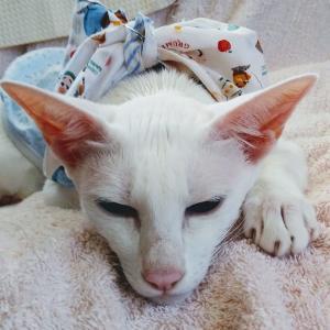 天下一品 持ち帰り ラーメン こってり テイクアウト ネギ オリエンタルショートヘア 猫