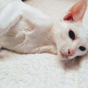 ブリュレ バームクーヘン 淡路島 甘いもの お土産 オリエンタルショートヘア 猫