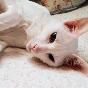 クーラー ぶっ壊れ 暑い 大変 電気工事 オリエンタルショートヘア 猫