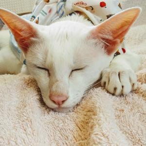 なすび 双子 ご縁 満月 オリエンタルショートヘア 猫
