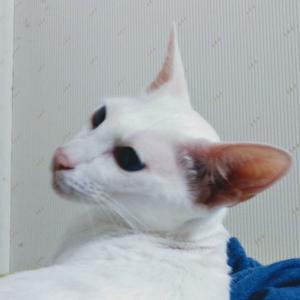 激安 驚き イカ 処理 50円 オリエンタルショートヘア 猫