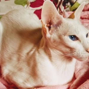 ケロッグ 必ずもらえる プレゼント 保冷バッグ シリアル トニータイガー 男前 オリエンタルショートヘア 猫