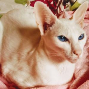 半額 お得 安い 弁当 節約 オリエンタルショートヘア 猫