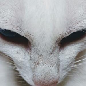 留守 ご飯 怒り 食べない オリエンタルショートヘア 猫