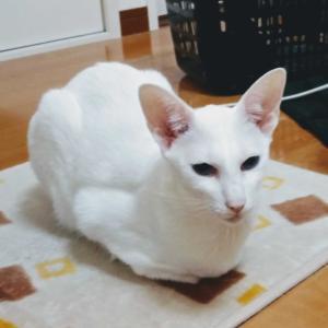 あと1か月で・・・ 朝ごはん 奇跡的 目玉焼き 作る オリエンタルショートヘア 猫