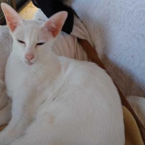 さち福や 明太子 カキフライ 穴子 オリエンタルショートヘア 猫