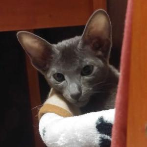 7日目 明日で丸1週間 オリエンタルショートヘア 猫