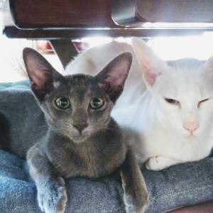 ビックリ顔 新キャラ 作成 予定 スタンプ オリエンタルショートヘア 猫