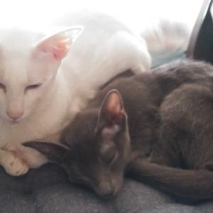 大きさの違い 歳の違い オリエンタルショートヘア 猫