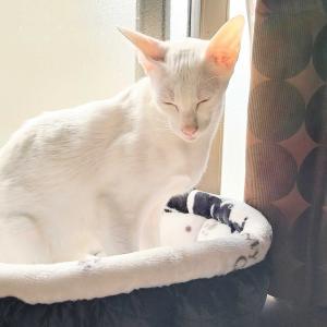 眠い 大量 半額 商品 オリエンタルショートヘア 猫
