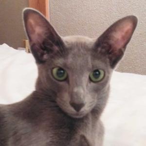ビックリ 可愛すぎる いつかの馬鹿ップル 高級食パン オリエンタルショートヘア 猫