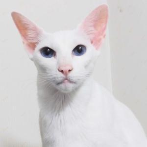 食事券購入予約券 販売開始未定 残念 オリエンタルショートヘア 猫
