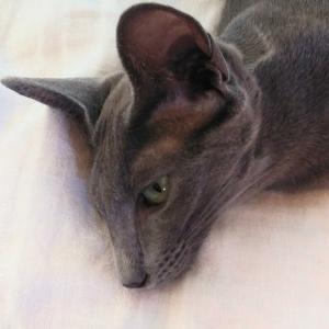 暑い キャリーバッグ 洗う 天気 コロナワクチン接種 オリエンタルショートヘア 猫