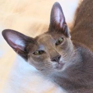 うどん ネギ大盛り ちくわ天 いなり 丸亀製麺 変顔 オリエンタルショートヘア 猫