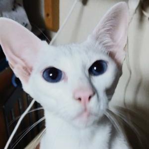 初盆 爆笑 ちっちゃいおっさん 激似 オリエンタルショートヘア 猫