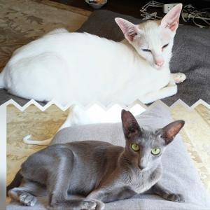ホワイトとブルー ワッペン セリア 100均 似てる オリエンタルショートヘア 猫