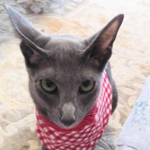 ノミ ダニ 予防 健康診断 怒ってる? パッションフルーツ オリエンタルショートヘア 猫