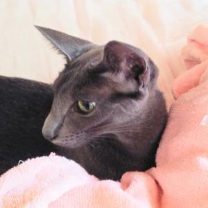 丸亀製麺のトマたまカレーうどん テイクアウト 見た目が…💧 カッコいい オリエンタルショートヘア 猫