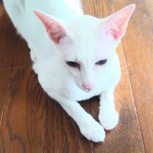通院 病院の食堂 ランチ オリエンタルショートヘア 猫
