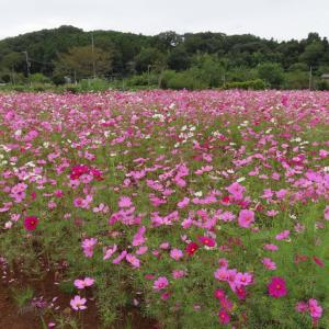 小松の  こすもすの咲く風景と