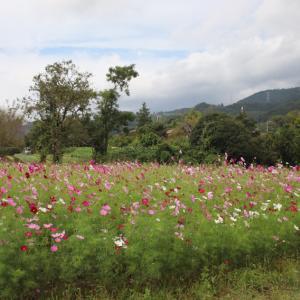 東田原の こすもすの咲く風景と