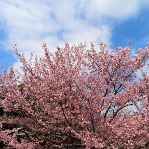 桜を観ながら