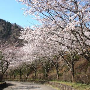 染井吉野の桜のトンネルを観て、そして、山側の染井吉野咲く場所へ。