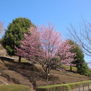 満開の桜 陽光を観ながら
