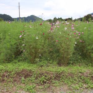 山間の青根地区の「コスモス」の咲く風景の中で