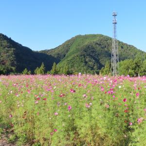 ミニスカートで「コスモス」の咲く風景を楽しむ