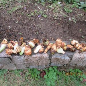 小まめに手入れした里芋を収穫した