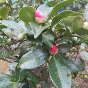 山茶花の蕾が赤く色づいてきた