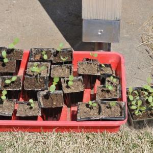 発芽したネモフィラとレタスの苗を外に出した