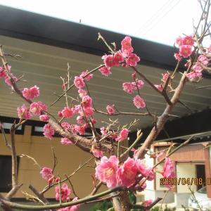 地植えの梅の木の花が散りそうだ