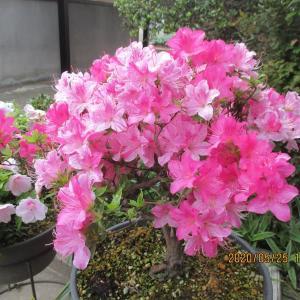 鉢植えのサツキの花が満開となる
