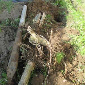 一昨年切り倒したムクゲの株とそばの杭を抜く