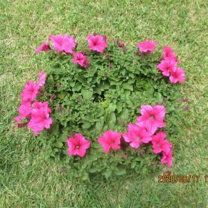 半球体に咲いていたペチュニアの花をピンチして18日目の状態