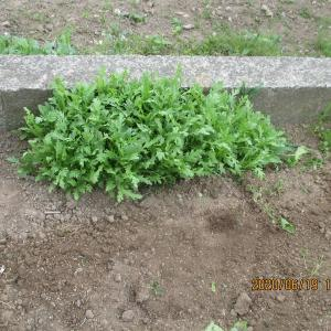 雑草を抜いた後に春菊と小松菜の種を蒔いたら