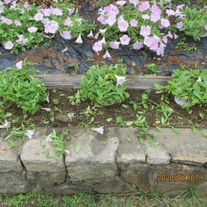 花壇の一段目のペチュニアを思いっきり切り詰める