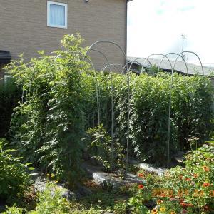 トマト苗を根を丈夫になるように育てた