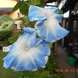 大輪の朝顔の花が咲いた