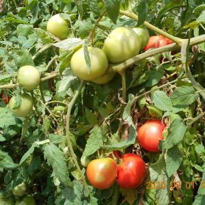 まだまだトマトが採れている