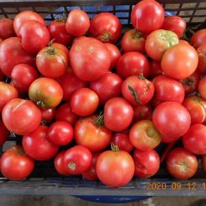 トマトの脇芽を欠かず束ねて育てた結果収穫は昨年の倍以上増えた