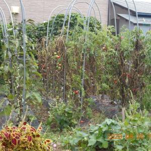 トマトの収穫終了となる