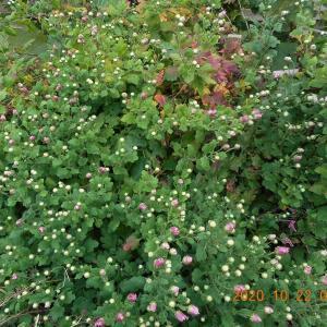 食用菊の蕾が色づいてきた