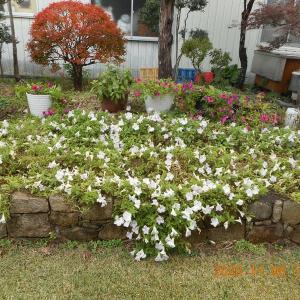 庭のペチュニアの花も終わる